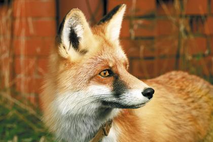 Лучшей парой Екатеринбургского зоопарка стали лисы Лютик иЛизовета